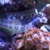 Minkštieji koralai